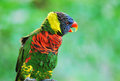 Rainbow Lory Royalty Free Stock Photo