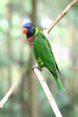 Rainbow lory on branch image of a colorful scientific name trichoglossus haematodus a Royalty Free Stock Images
