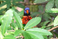 Rainbow lory image of a scientific name trichoglossus haematodus partly shielded by leaves Stock Photo