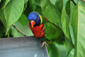 Rainbow lory a lorry bird hiding amongst the trees Stock Image