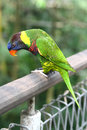 Rainbow lory on railing image of a colorful scientific name trichoglossus haematodus sitting wooden Stock Photos