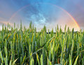 Rainbow over green wheat field Royalty Free Stock Photo