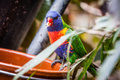 Rainbow parrot trichoglossus haematodus also knowed as Stock Image