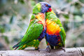 Rainbow parrot trichoglossus haematodus also knowed as Royalty Free Stock Photography
