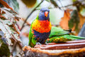 Rainbow parrot trichoglossus haematodus also knowed as Royalty Free Stock Images