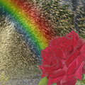 Rainbow and  rose Stock Images