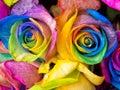 Rainbow roses close-up Royalty Free Stock Photo