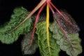 Rainbow Swiss Chard Royalty Free Stock Photo