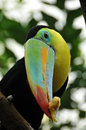 The rainbow toucan Stock Image
