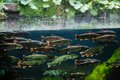 Rainbow trout flock of swimming in blue green water seen through aquarium window Royalty Free Stock Photography