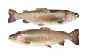 Rainbow trout isolated on a white background Stock Photography