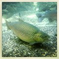 Rainbow trout swimming in clear water Royalty Free Stock Photos