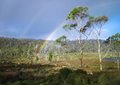 Rainbows behind the Gum Trees Royalty Free Stock Photo