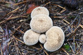 Raincoats mushrooms Royalty Free Stock Photography