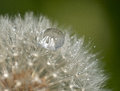 Raindrop on a dandelion shot with macro lens to highlight the reflections Stock Images