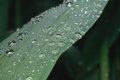 Raindrops balanced on a leaf green Royalty Free Stock Images