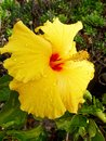 Raindrops on Bright Yellow Hibiscus Flower Royalty Free Stock Photo