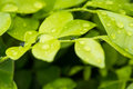 Raindrops on glossy green leaves background Stock Photo