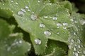 Raindrops on green leaf Royalty Free Stock Photo