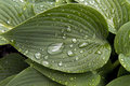 Raindrops on hosta leaf large beaded plant after rainstorm Stock Photos