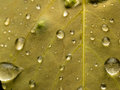Raindrops on leaf closeup of yellow showing veins and Royalty Free Stock Photography