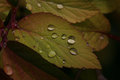 Raindrops on leafs Royalty Free Stock Photo