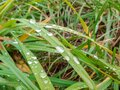 raindrops left on green grass leaves after rain in summer or spring, rainy weather, weather forecast with precipitation and shower Royalty Free Stock Photo