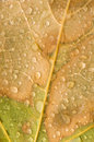 Raindrops on Maple Leaf Royalty Free Stock Image