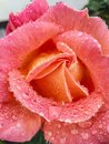 Raindrops at the roses are amazing Royalty Free Stock Photo