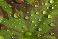 Raindrops on waterlily leaf close up of dozens of a Royalty Free Stock Photos