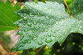 Raindrops on winegrape leaf Royalty Free Stock Image