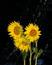 Rainfall over sunflowers abstract background with Royalty Free Stock Photography