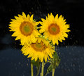 Rainfall over sunflowers abstract background with Stock Photos