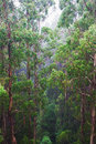 Rainforest view in the rain from the tree top walk of otway fly up to metres above ground level great ocean road australia Stock Photography