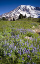 Rainier Lupine Royalty Free Stock Photography