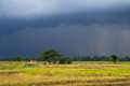 Raining on paddy Royalty Free Stock Image