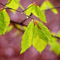 Rainy spring leaves beech with sunny light Stock Photo