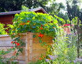 Raised bed nasturtium vines on Royalty Free Stock Photos