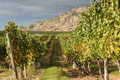Raisins de cuve blanc, vigne d'Okanagan Photo stock