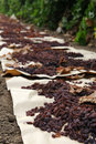Raisins drying in field on paper Stock Photo