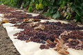 Raisins drying on paper in field Royalty Free Stock Images