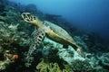 Raja ampat indonesia pacific ocean hawksbill turtle eretmochelys imbricata cruising above coral reef Stock Images