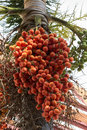 Raja palm ripen fruit of lipstick or sealing wax or Stock Photography