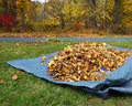 Raked up leafs fallen onto a tarp for easier disposal annual garden chore Stock Image