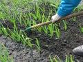 Raking of garlic plantation seasonal work in the vegetable garden Royalty Free Stock Images
