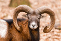 Ram with big horns in the forest Royalty Free Stock Photo