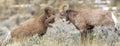 Ram Bighorn Sheep Royalty Free Stock Photo