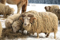 Ram flock of sheep skudde with eating the hay meadow covered with snow winter on the farm Stock Photos