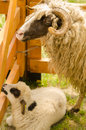Ram and lamb in the cote Royalty Free Stock Photo