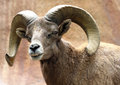 Ram male desert bighorn sheep displaying huge curved horns and teeth Royalty Free Stock Image